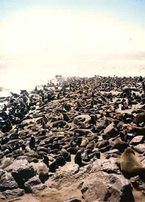 JAR - kolonie tuleňů